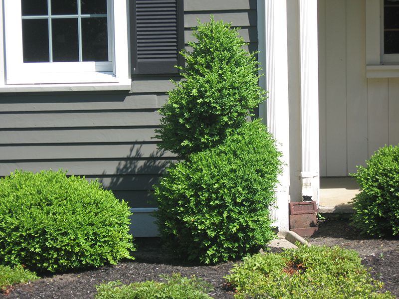 Fine Gardeners - Boxwood Topiaries